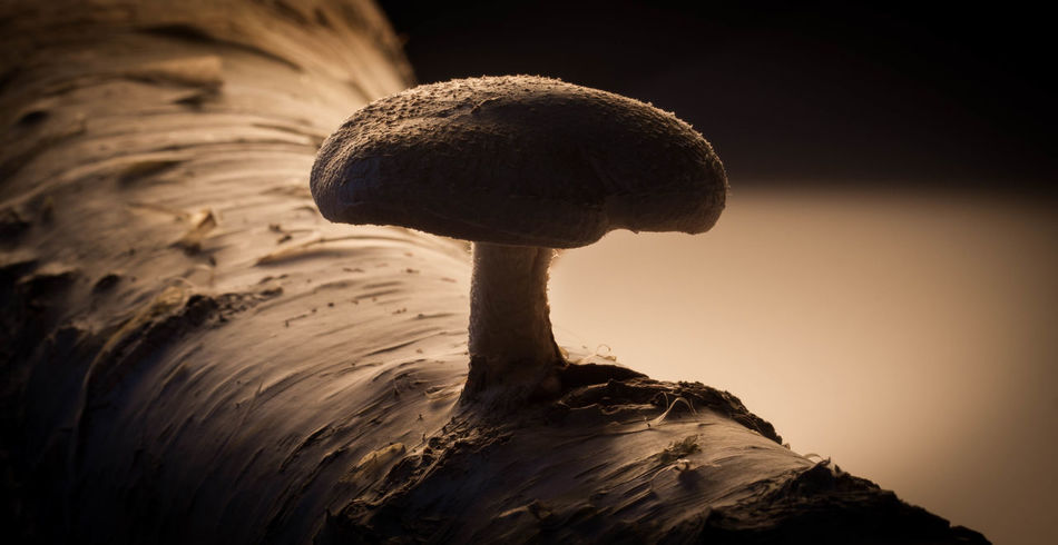 Beauty In Nature Close-up Day Food Healthy Food Medical Mushroom Nature No People Outdoors Schadow And Lights Shiitake