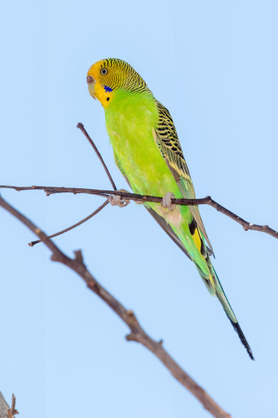 Budgerigar male in the wild Budgerigar Kimberley Australia Melopsittacus Undulatus Animal Themes Animal Wildlife Animals In The Wild Beauty In Nature Bird Blue Clear Sky Day Full Length Nature No People One Animal Outdoors Parrot Perching Wellensittich