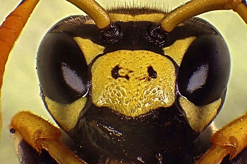 Polistes Dominulus Arthropoda Close-up Hexapoda Hymenoptera Insect Extreme Macro Insecta Paper Wasp Paper Wasp Extreme Macro Polistes Dominulus Polistes Extreme Macro Vespidae Vespoidea Wasp Wasp Extreme Macro