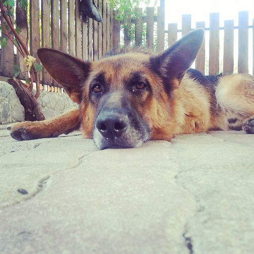 ♥ Tired Dog Instapuppies Stanco amoremio ilcanemiglioredelmondo love summer jj tagsforlike Villapiana