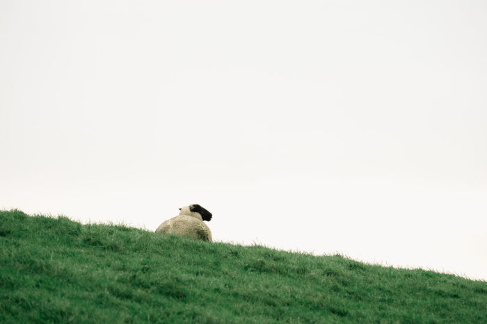 At the Sea Green The Week On EyeEm Animal Themes Animal Wildlife Animals In The Wild Bird Clear Sky Day Field Grass Mammal Nature No People One Animal Outdoors Perching Sheep Sheep🐑 Sky Young Animal