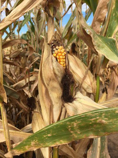 Corn Cornmaze Maze Paint The Town Yellow Corn Field Golden Corn Corn On The Cob Gold Grain