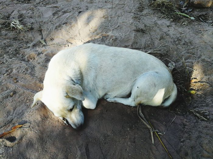 Sleeping Dog High Angle View Sand Animal Themes One Animal Day No People Animals In The Wild