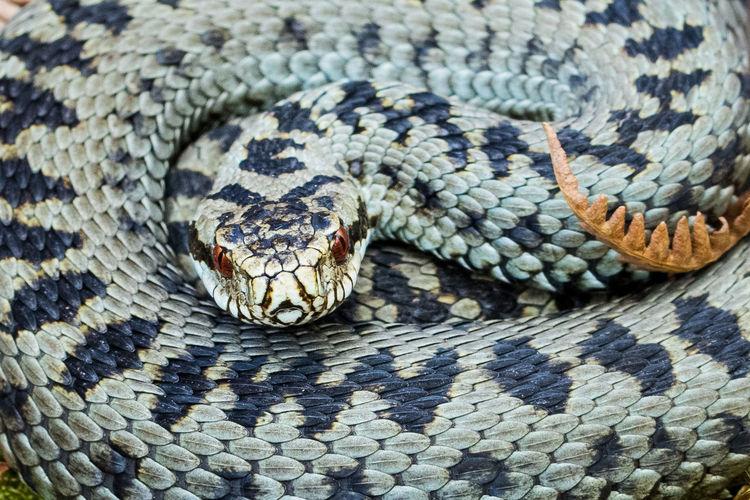 Close-up of viper
