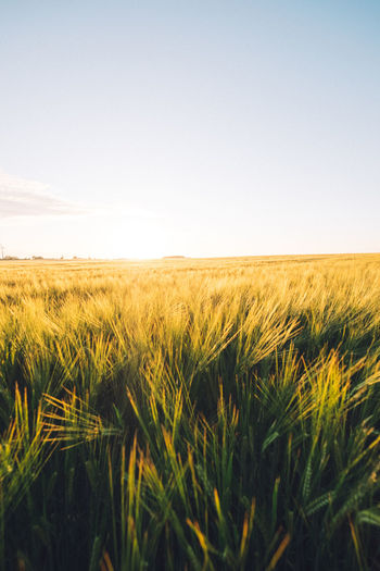 Agriculture Beauty In Nature Cereal Plant Clear Sky Copy Space Crop  Day Farm Field Field Growth Landscape Nature No People Outdoors Rural Scene Scenics Sky Tranquility Warm Wheat