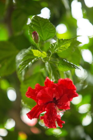 Plant Flowering Plant Flower Red Beauty In Nature Growth Vulnerability  Fragility Plant Part Leaf Nature Day No People Inflorescence Green Color Hibiscus Red Flower Red Color Red And Green Hibiscus 🌺 Hibiscus Flower Vertical Bud Budding Flower Bud
