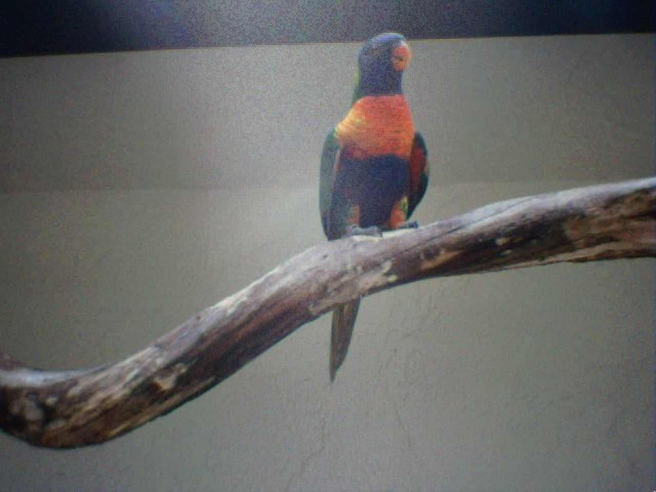 one animal, animals in the wild, animal themes, perching, animal wildlife, no people, branch, day, outdoors, nature, bird, beauty in nature, close-up, rainbow lorikeet