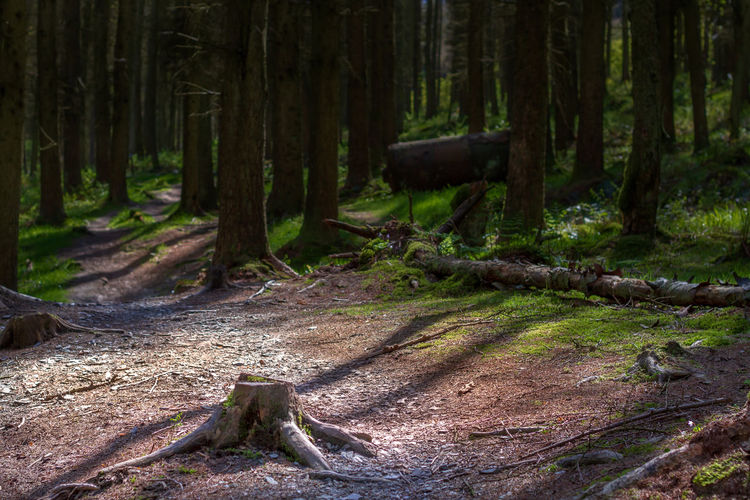 Tree Low Section Forest Tree Trunk WoodLand Pinaceae Pine Woodland Evergreen Tree Long Shadow - Shadow Focus On Shadow Treetop Needle - Plant Part Log Sunbeam Deforestation Countryside Tree Area Idyllic