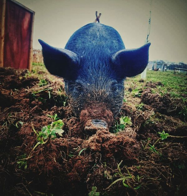 Piglet Places I've Been Today Down On The Farm Sony Xperia Z3 Pig Animals Essex Farm