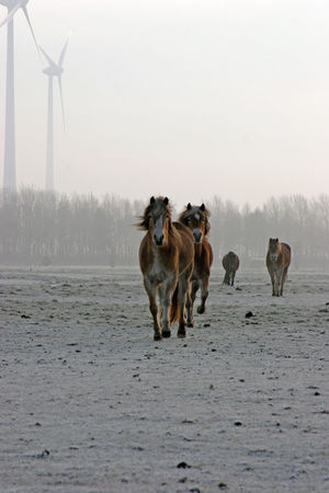 Horses in the winter I Alternative Energy Bio Energy Clean Energy Cleaner Environment Fresh On Eyeem  Horizon Over Water Horses Horses In The Snow Mammal Outdoors Sustainability Sustainable Resources Wind Farm Wind Turbines Window Winter Winter Scene