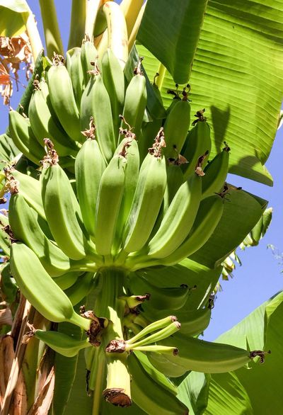 Banana Cluster Flora Nature Plant Tropical Plants Tree Bananas Cluster Fruit Banana Tree Leaves Green Hanging Hanging Fruits Green Bananas Botanical Growing Bearing Fruit Yummy Healthy Food Organic