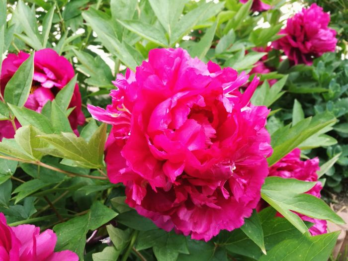Gorgeousness Peony  Flower Nature Plant Beauty In Nature Close-up