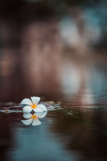 Close-up of frangipani in water