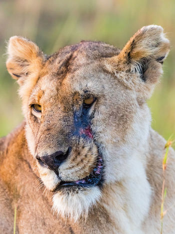 Lion with scar on her face African Masai Mara SORE Savannah Africa Animal Face Animal Wildlife Animals In The Wild Big Cat Close-up Dangerous Hurt Injury Lion - Feline Lioness No People Nose One Animal Outdoors Portrait Potrait Scar Scarface Wild Wildlife