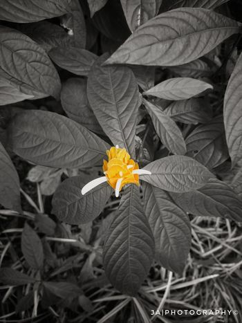 Flower Plant Leaf Growth Flower Head Nature Beauty In Nature Petal Fragility Outdoors No People Day Close-up Herbal Medicine Freshness Splash Of Colour Black And Yellow  Outdoor Photography Mobile Photography Flowers, Nature And Beauty