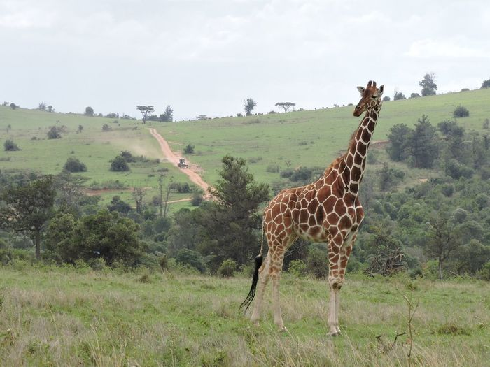 Giraffe On Grassy Field Against Sky