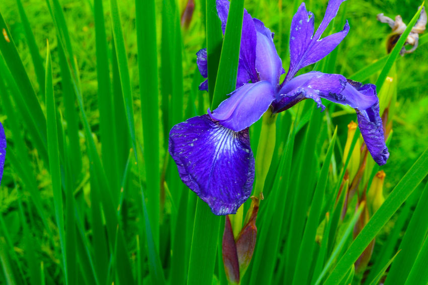 Home. by Kesi J. Marcus Beauty In Nature Blooming Close-up Day Drop Flower Flower Head Fragility Freshness Grass Green Color Growth Iris - Plant Nature No People Outdoors Petal Plant Purple Water