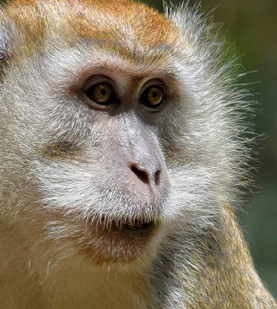 Monkey Macaque Ipoh Malaysia Primate Animal Wildlife Animal Body Part Close-up EyeAnimal Head  No People Animals In The Wild Nature Portrait Face Looking At Camera Animals In The Wild Headshot Nature Outdoors Day One Animal Ape Eyes Visit Ipoh