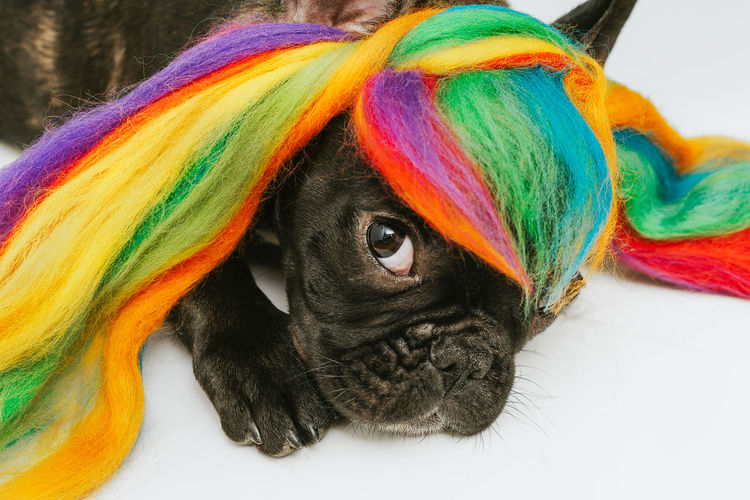 Rainbow Colors Rainbow Colours Rainbow Hair Frenchie French Bulldog Frenchbulldog Dog Pet Portrait Pets Multi Colored Portrait Looking At Camera Close-up Animal Eye Animal Body Part Animal Nose Animal Face HEAD Animal Head
