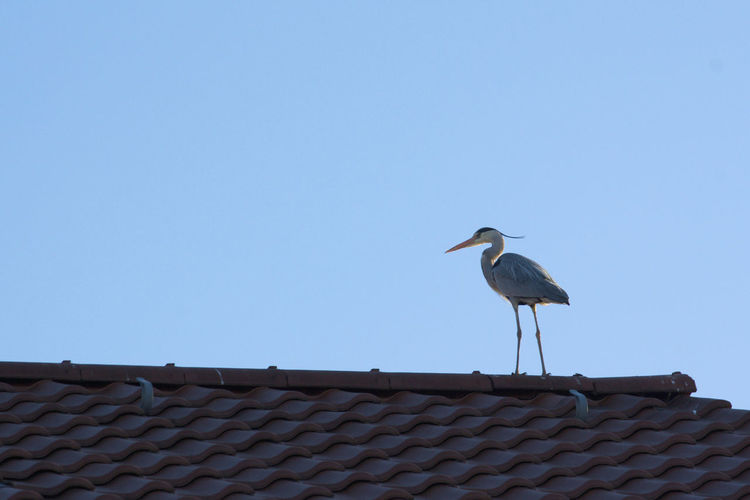 the very surprising view today from my window in the heart of Berlin. Animals In The Wild Bird Bird Photography Blue Clear Sky Egret Heron Nature In Town. Nature On Your Doorstep Nature Photography One Animal Roof The View From My Window