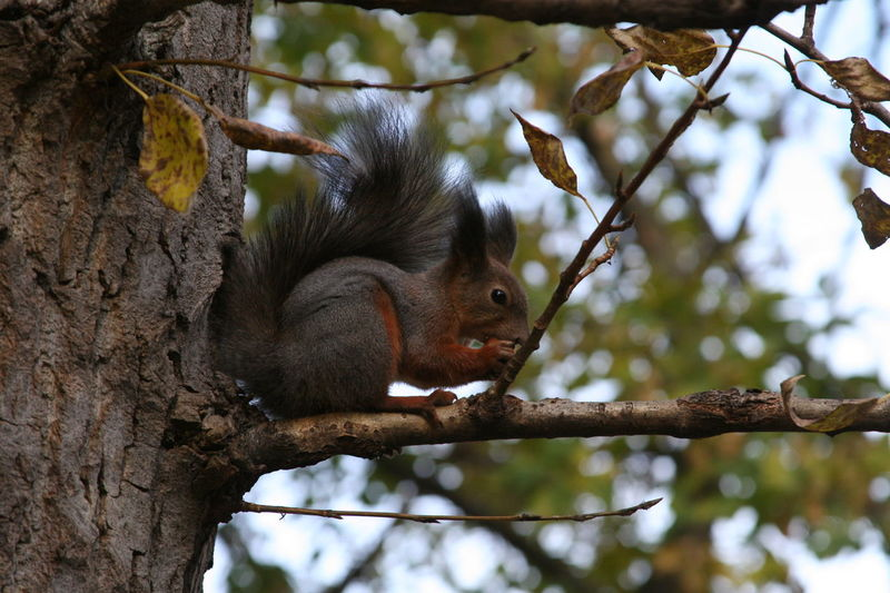 Squirrel sits on a branch and gnaws nuts Branch Animal Nut Nuts Green Wildlife Wild Tree Branch Squirrel