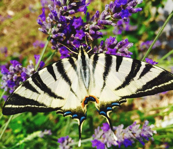 Flower One Animal Animal Themes Animals In The Wild Purple Insect Butterfly - Insect Beauty In Nature Nature Fragility Animal Wildlife Plant Day Outdoors Close-up Petal No People Focus On Foreground Freshness Pollination