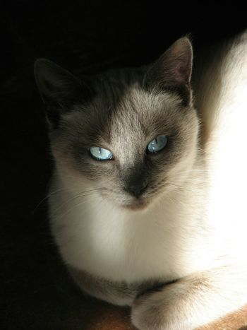 Momo - Ojos azules. Momo The Cat Robin Fifield - Cats. Cat Siamese Cat Cats Eyes Beautiful Eyes Blue Eyes Single Light Source Available Light Photography Cats Of EyeEm Pet Portraits