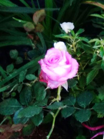 Ros flower with leaf Ros Ros Flower Pink Flower Head Flower Peony  Leaf Pink Color Rose - Flower Close-up Plant Green Color