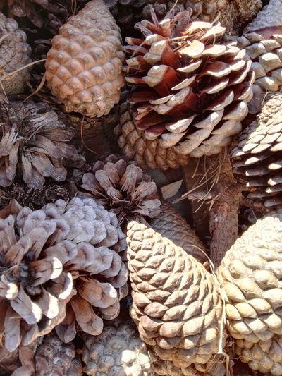 pine cones Pine