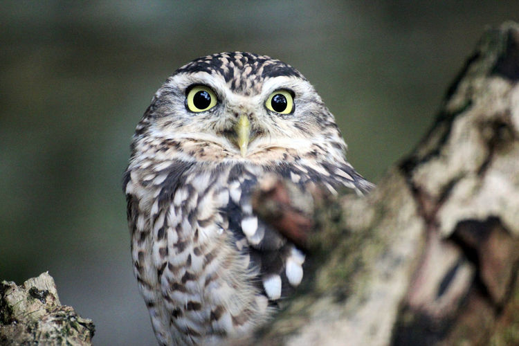 Close-up portrait of owl perching outdoors