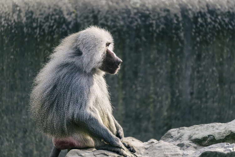 Male Baboon at the zoo Berlin Germany 🇩🇪 Deutschland Horizontal Mamal Zoo Animal Baboon Color Image Day Focus On Foreground In Captivity Looking Male Mammal Monkey Nature No People One Animal Outdoors Primate Rocks Sitting Vertebrate Zoological Garden Zoology