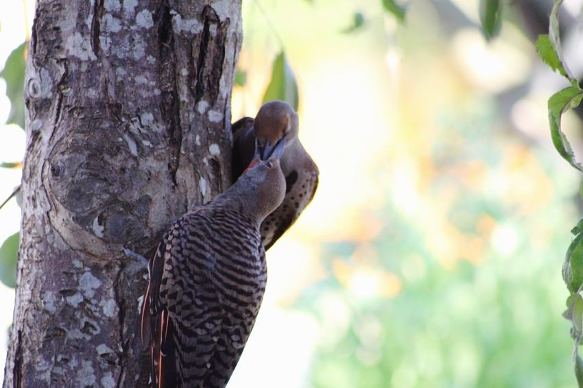 Bird Animals In The Wild Animal Themes Focus On Foreground Tree Tree Trunk Animal Wildlife One Animal Day No People Nature Outdoors Close-up Perching Owl Mammal Northern Flicker Flicker Victoria Bc CRD Yyj Victoria Woodpecker