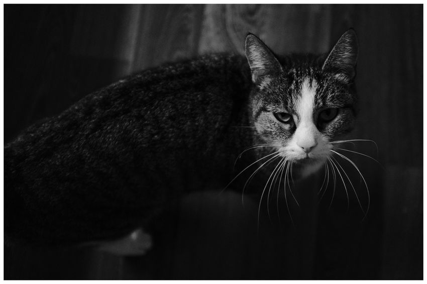 Blackandwhite Blackandwhite Photography Blackandwhitephotography Blackandwhitephoto Black And White Black And White Photography EyeEm Best Shots - Black + White Black And White Collection  Pets Portrait Feline Looking At Camera Domestic Cat Whisker Cute Close-up Animal Face At Home Snout