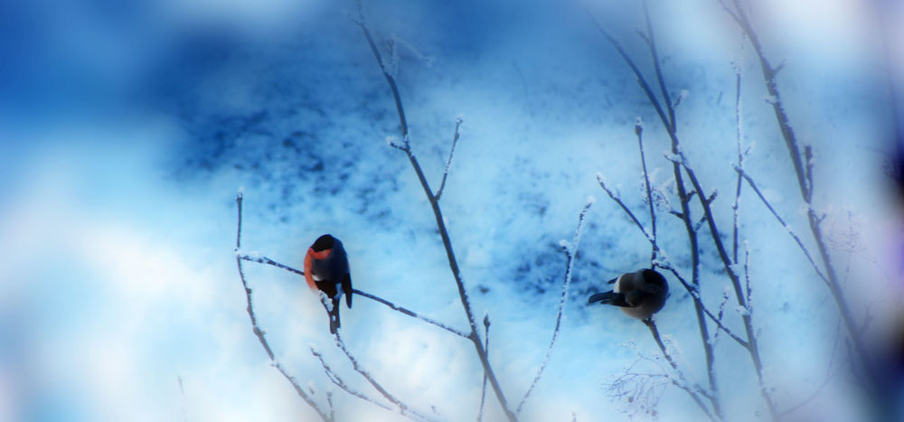 Bullfinch Beauty In Nature Bird Bird Photography Birds Birds Of EyeEm  Birds_collection Frozen Nature зима мороз птицы птички снегири