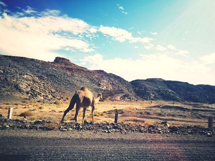 Sky One Animal Camel Desert Mountains Landscape Outdoors Nature Saintkatherine's Sinai Egypt