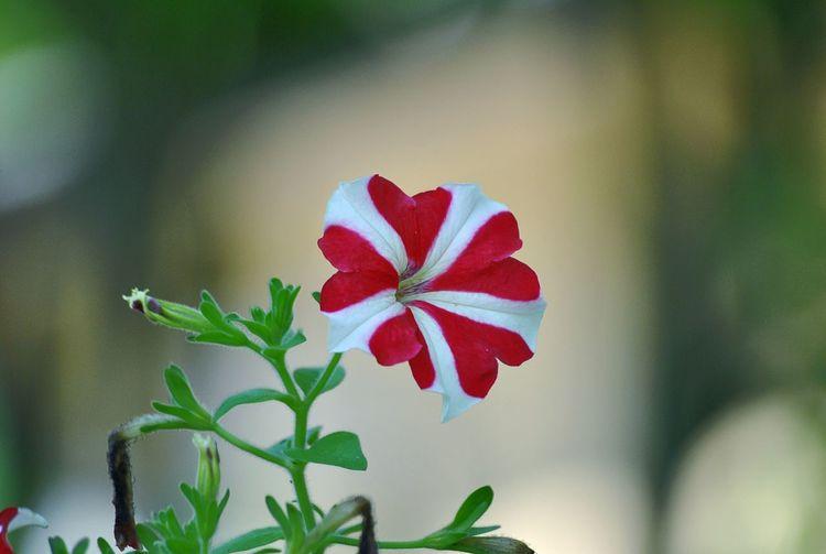 red white striped petunia Petunia Petunia Red White Striped Petunia Flower Flower Head Red Leaf Close-up Plant