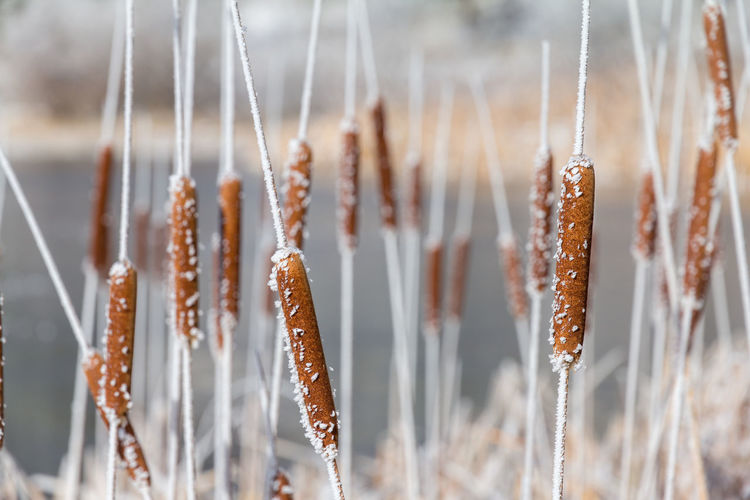 Frozen cattails