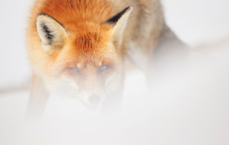 Close-up of fox during winter