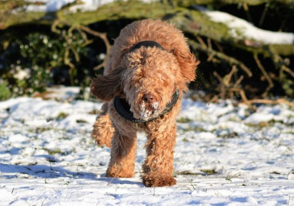 Cockapoo Dog Running Dog In Snow Animal Themes Day Dog Dog Running In The Snow Dog Running Towards Photographer Mammal Nature No People Outdoors Pets Snow Winter