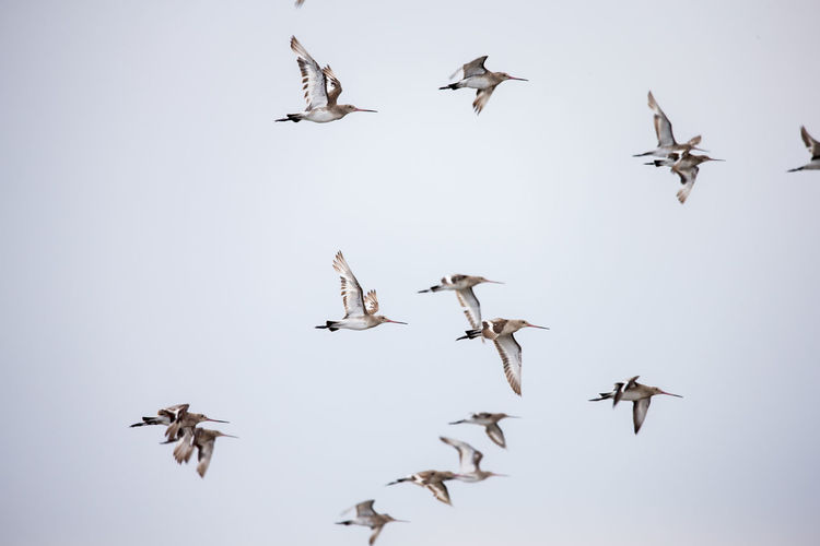 Animal Animal Themes Animal Wildlife Animals In The Wild Bird Clear Sky Day Flapping Flock Of Birds Flying Group Of Animals Large Group Of Animals Low Angle View Mid-air Motion Nature No People on the move Sky Spread Wings Vertebrate