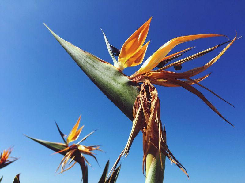 Strelitzia Bird Of Paradise Flower Plant Crane Flower