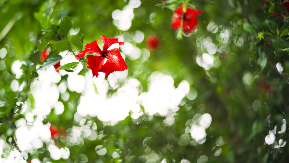 Red flower with bokeo background Textured  Background Beauty In Nature Blooming Bokeo Close-up Day Flower Flower Head Focus On Foreground Fragility Freshness Green Color Growth Hibiscus Nature No People Outdoors Plant Red Tree Chum Phae,khonkaen,Thailand