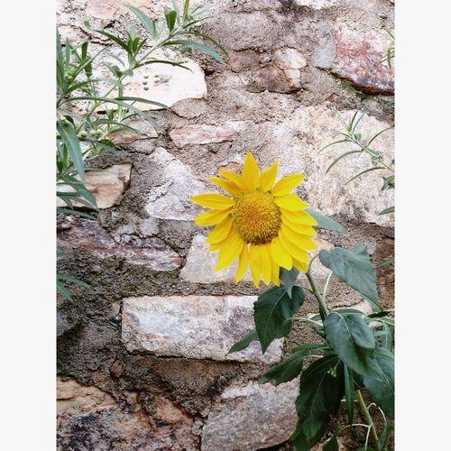 ☀️ Girassol Flower Sun Nature Guaramiranga Brasil 🌻