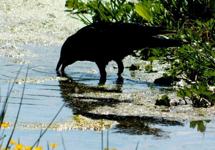 Black dog drinking water in lake