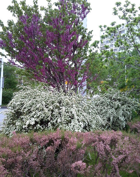 Abundance Bloom Bush Bushes Bushes And Flowers Flowerets Flowering Flowering Bushes Freshness Luxuriant May Nature Pale Pink Pink Purple Rich Spring Springtime White Pastel Power Lilac Violet
