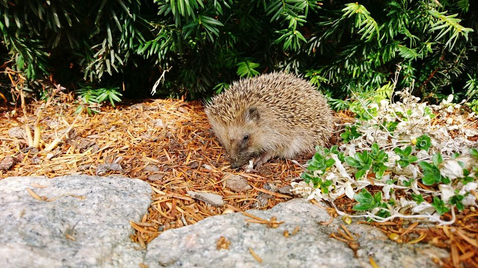 Igel Animals In The Wild Animal Wildlife Beauty In Nature Sunshine Chilling Day Animal Themes Igelüberwinterung Animal Themes Animals In The Wild Nature No People Leaf Outdoors Animal Wildlife One Animal Day Mammal Beauty In Nature Tree Hedgehog