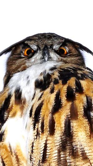 Owls Eagle Owl  Eagleowl