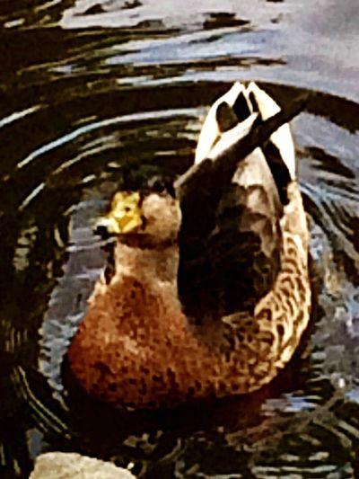 Nature EyeEm Nature Lover Stream Duck Mallard