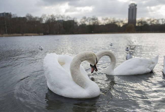 Animal Themes Animals In The Wild Bird Close-up Cygnet Day Floating On Water Lake Nature No People Outdoors Sky Swan Swimming Togetherness Water Water Bird White Color Young Animal