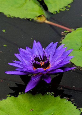 Purple Flower Freshness Water Water Lily Growth Beauty In Nature Lotus Water Lily Nature Single Flower Leaf Garden By The Bay Canon700D Flowerporn EyeEm Nature Lover Blooming